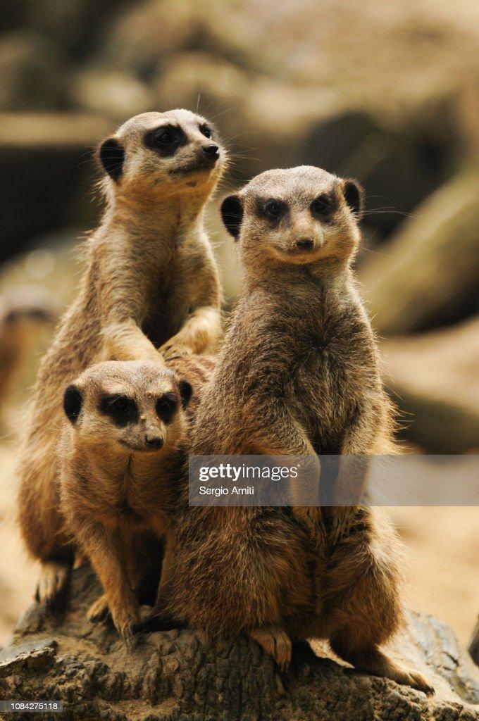 Meerkat : Stock Photo