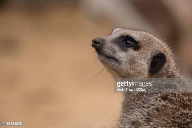 meerkat - ミーアキャット ストックフォトと画像