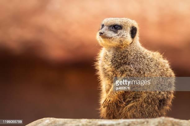 meerkat - mangusta foto e immagini stock