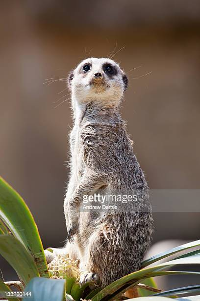 meerkat - andrew dernie photos et images de collection