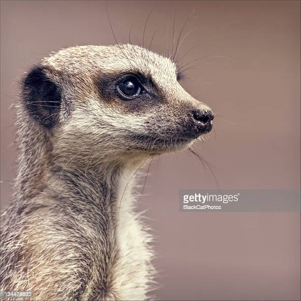meerkat - meerkat stock pictures, royalty-free photos & images