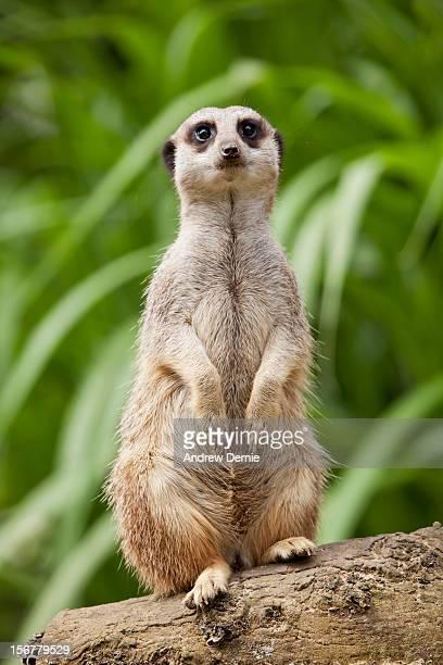 meerkat - andrew dernie bildbanksfoton och bilder