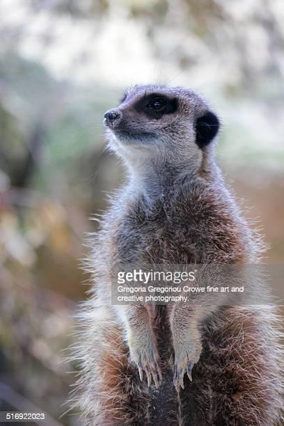 meerkat - gregoria gregoriou crowe fine art and creative photography stockfoto's en -beelden