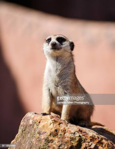meerkat - carnivora stock photos and pictures