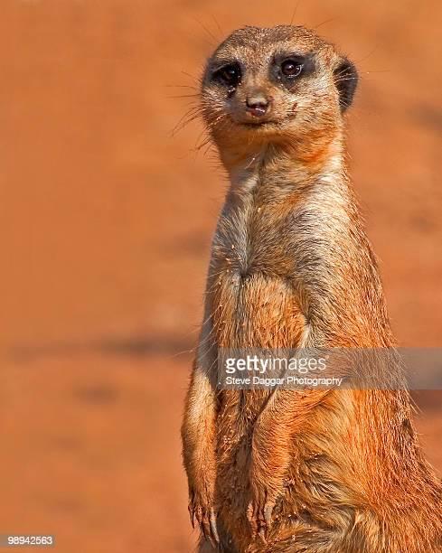 meerkat - taronga zoo stock pictures, royalty-free photos & images