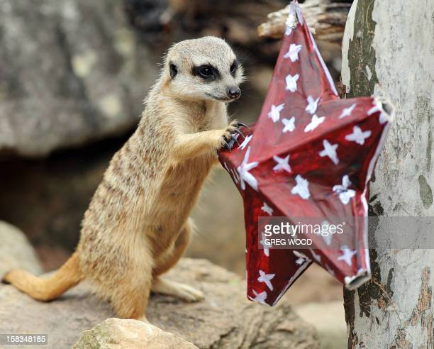A Meerkat plays with a Christmas decoration at Taronga Zoo in Sydney on December 14 2012 In the lead up to Christmas a selection of the zoo animals...