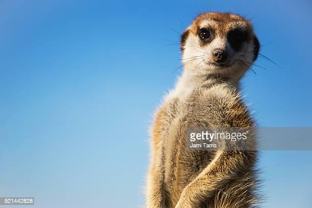 meerkat portrait, close-up, front view, sentry duty - ミーアキャット ストックフォトと画像