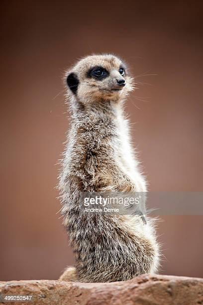 meerkat portrait - andrew dernie stock pictures, royalty-free photos & images