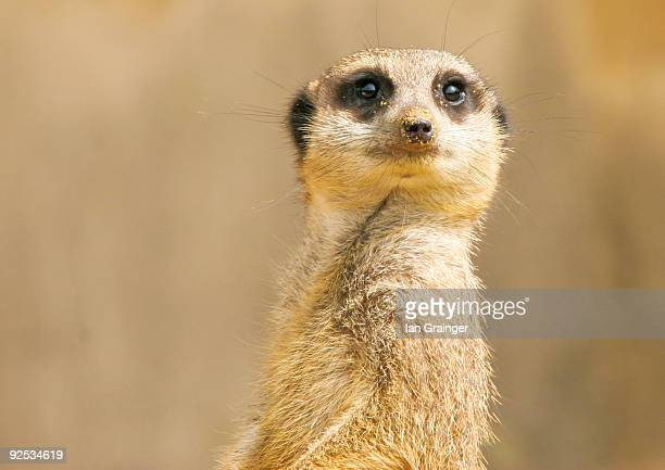 meerkat portrait - ian grainger stock pictures, royalty-free photos & images