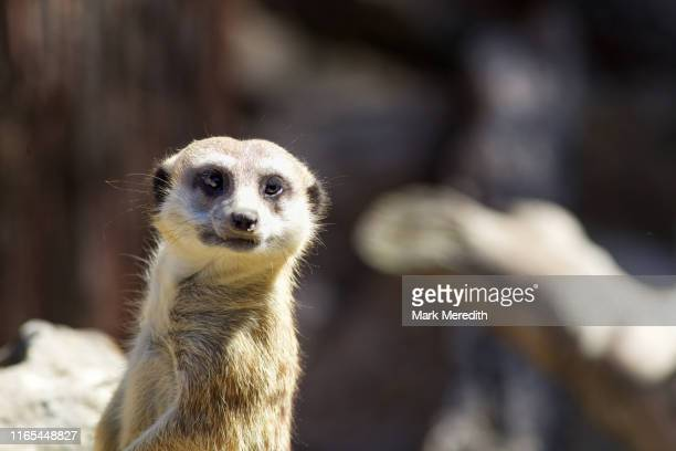 meerkat pose - zoo stock pictures, royalty-free photos & images