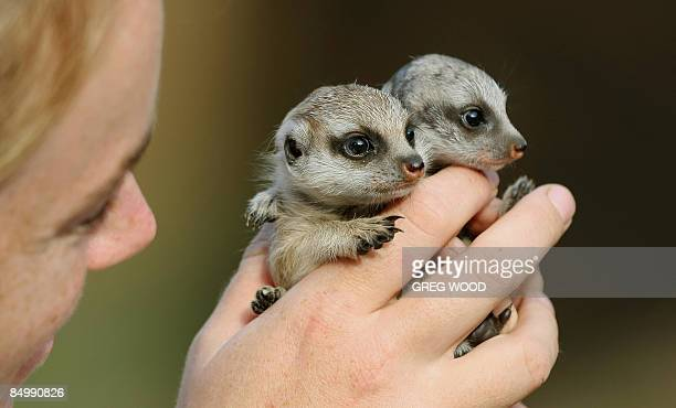 Meerkat pups 'Nairobi' and 'Zanzibar' four weeks old and the first to be born at Sydney's Taronga Zoo in nine years are shown for the first time with...