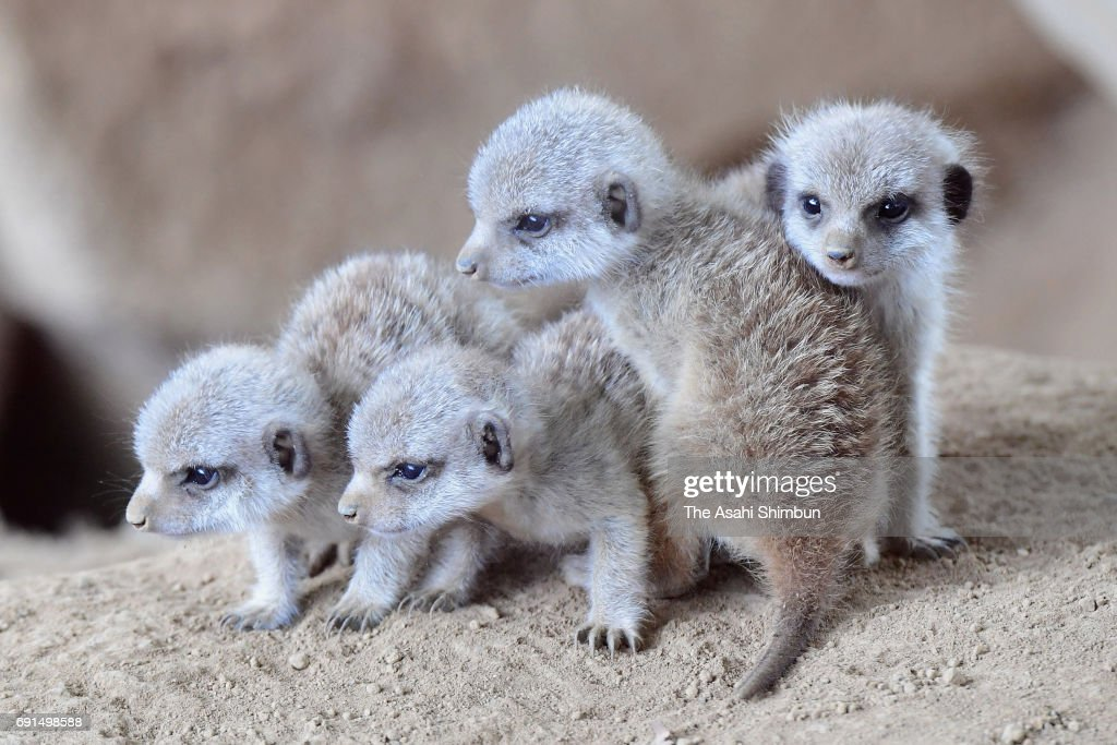 Meerkat quadruplets are seen at Chiba Zoological Park on June 1, 2017 in Chiba, Japan. The quadruplets were born end of last month.