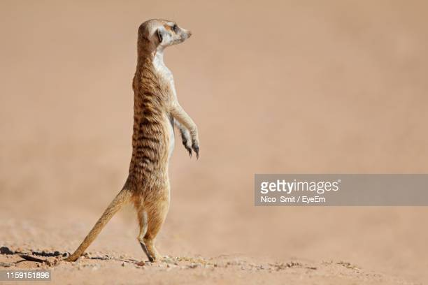 meerkat rearing up on land - meerkat stock pictures, royalty-free photos & images