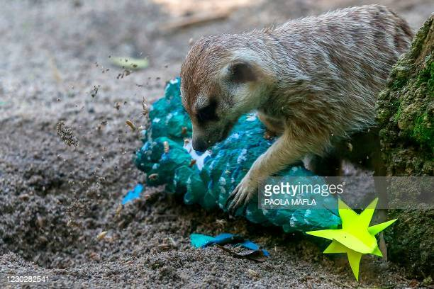 Meerkat receives food wrapped as a Christmas gift by zookeepers at the Cali Zoo, in Cali, Colombia, on December 23, 2020.