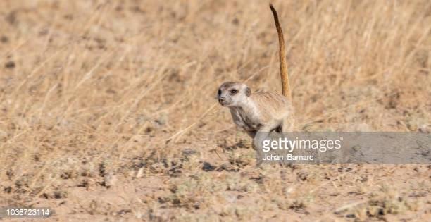 Meerkat running, Kgalagadi Transfrontier Park, South Africa