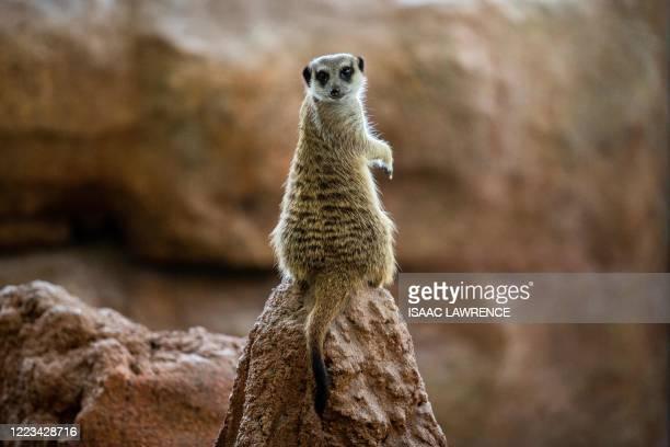 Meerkat sits on a rock inside a new exhibit at Ocean Park in Hong Kong on June 29, 2020.
