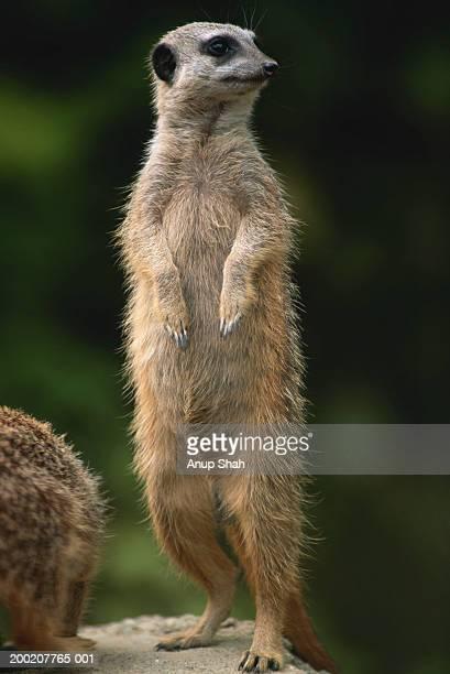 meerkat (suricata suricatta) standing, close up - meerkat stock pictures, royalty-free photos & images