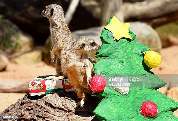 A meerkat stands guard on a present as another inspects a Christmas tree as animals at Sydney's Taronga Zoo received Christmasthemed treats in their...