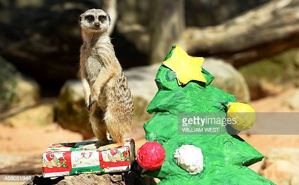A meerkat stands guard on a present next to a Christmas tree as animals at Sydney's Taronga Zoo received Christmasthemed treats in their enclosures...