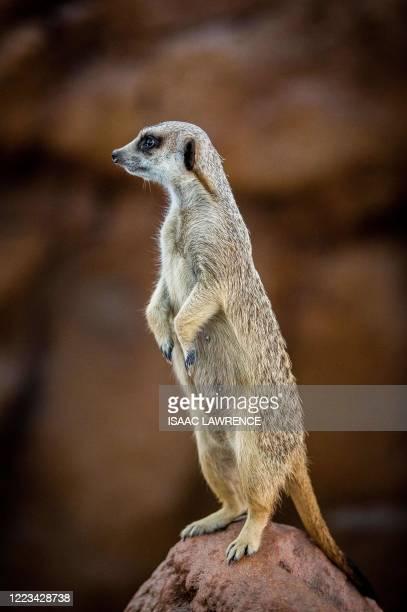 Meerkat stands on a rock inside a new exhibit at Ocean Park in Hong Kong on June 29, 2020.