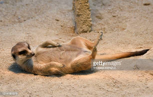 Meerkat stretches in the sun in its enclosure at the Wilhelma, the botanical-zoological garden in Stuttgart, southern Germany, on May 20 as visitors...