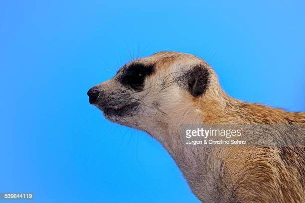 Meerkat -Suricata suricatta- adult, alert, Little Karoo, Western Cape, South Africa