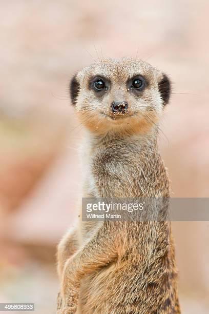 Meerkat -Suricata suricatta-, Tierpark Sababurg, Hofgeismar, Hesse, Germany