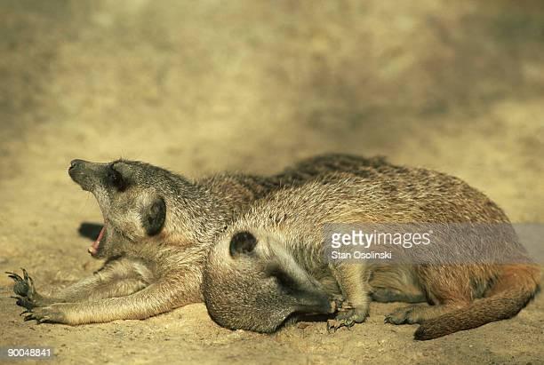 meerkat, suricata suricatta, yawner & sleeper, zoo animals