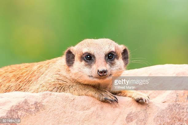 Meerkat -Suricata suricatta-, young, captive