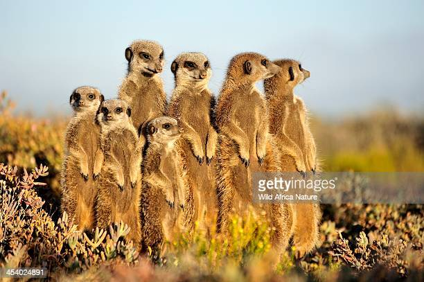 meerkat / suricate - medium group of animals stock pictures, royalty-free photos & images
