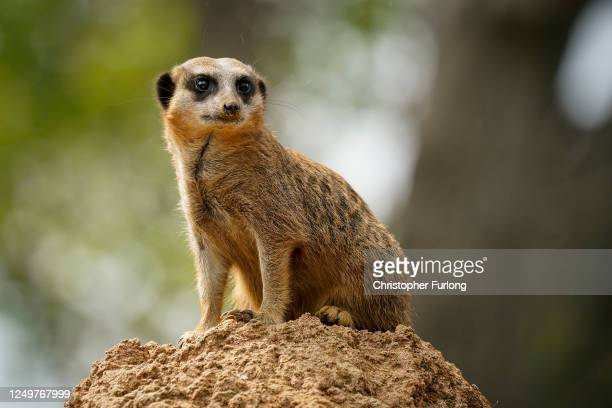 Meerkat watches visitors arrive at Chester Zoo as UK Zoos reopen to the public on June 15, 2020 in Upton by Chester, United Kingdom. The British...