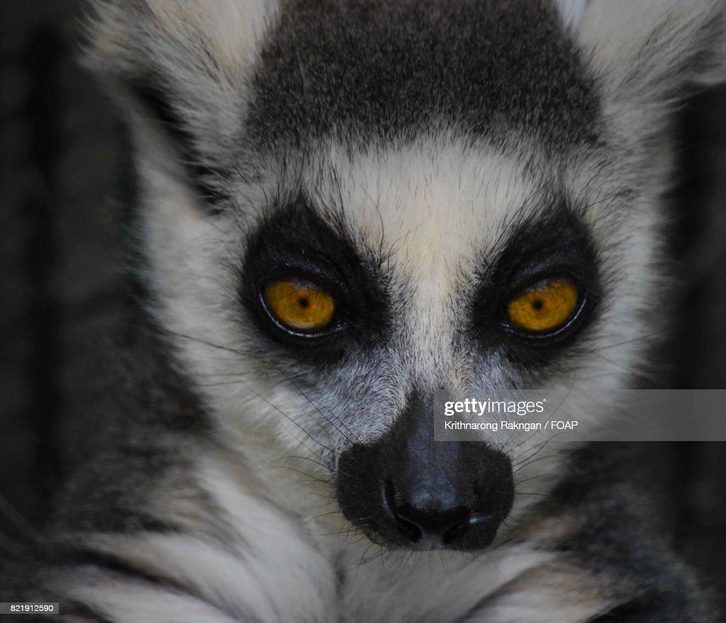 Meerkat with big yellow eyes : Stock Photo