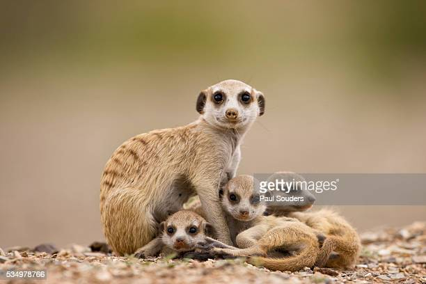 meerkat with pups - meerkat stock pictures, royalty-free photos & images