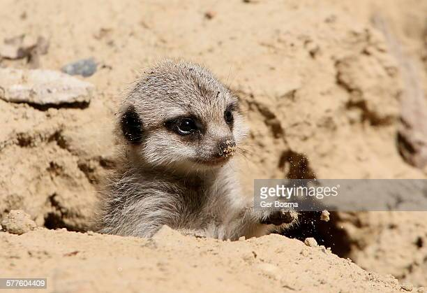 meerkat youngster - carnivora stock photos and pictures