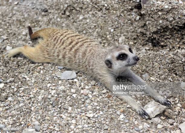 meerkat-planking - mongoose stock photos and pictures
