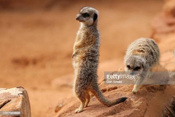 Meerkats are seen during the opening of African Savannah precinct at Taronga Zoo on June 28, 2020 in Sydney, Australia. The new African Savannah...