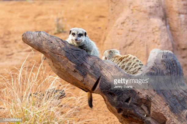 Meerkats are seen during the opening of the African Savannah precinct at Taronga Zoo on June 28, 2020 in Sydney, Australia. The new African Savannah...