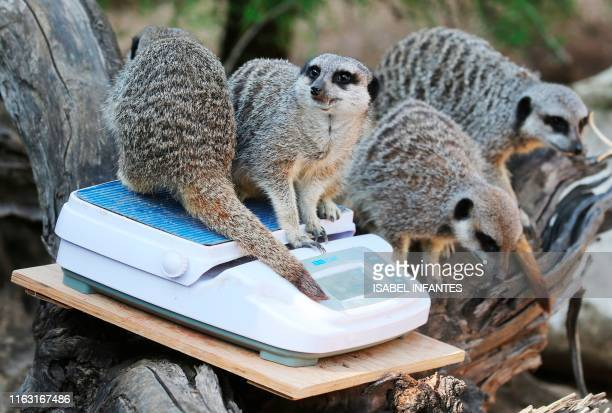 Meerkats are weighed on a scale during a photocall at London Zoo on August 22 to promote the zoo's annual weighin event