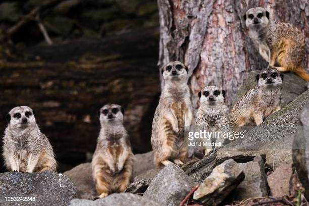 Meerkats await the arrival of members of the public in Edinburgh Zoo as it opens for the first time following the easing of Scottish Governments...