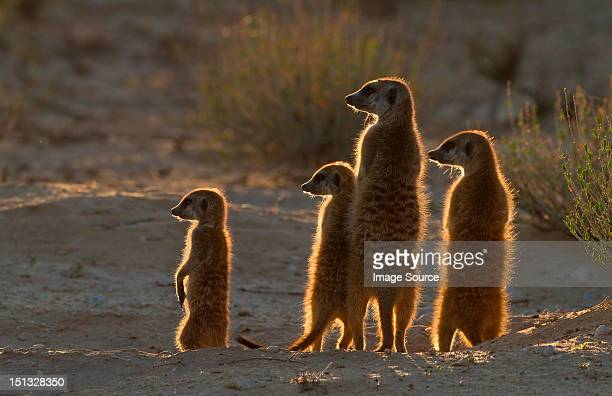 Meerkats catching the morning sun, Kgalagadi Transfrontier Park, Africa