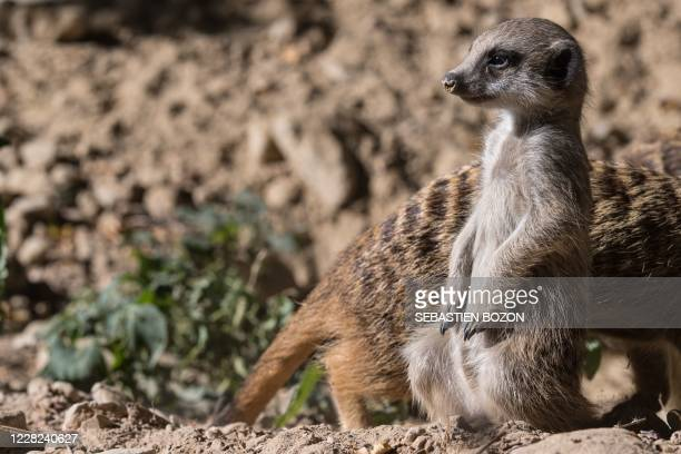 Meerkats cub looks on at the Mulhouse zoo, eastern France, on August 28, 2020.