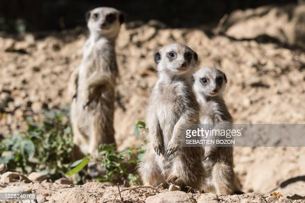 Meerkats cubs look on at the Mulhouse zoo, eastern France, on August 28, 2020.