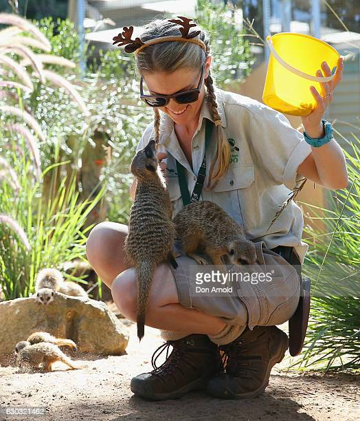 Meerkats enjoy a meal at Taronga Zoo on December 21 2016 in Sydney Australia Taronga's resident Meerkats Lemurs and Sea Lions were given special...