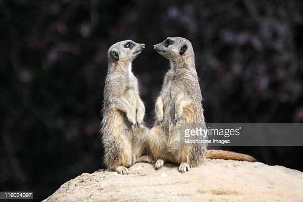 Meerkats from Southern Africa
