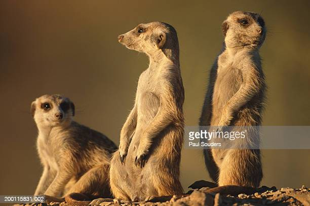 Meerkats (Suricata suricatta) guarding warren entrance