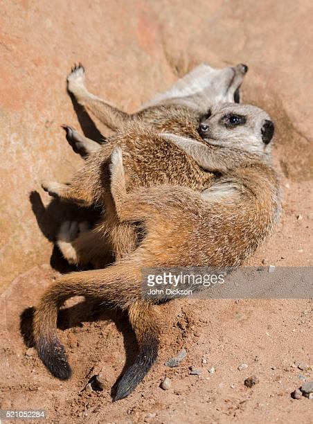 meerkats having fun - abbracciarsi a letto foto e immagini stock