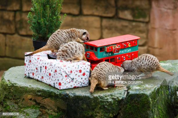 Meerkats inspect a Christmas gift and an Advent calendar filled with mealworms they were given by their keepers in their enclosure at the zoo in...