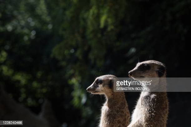 Meerkats look on at the Mulhouse zoo, eastern France, on August 28, 2020.