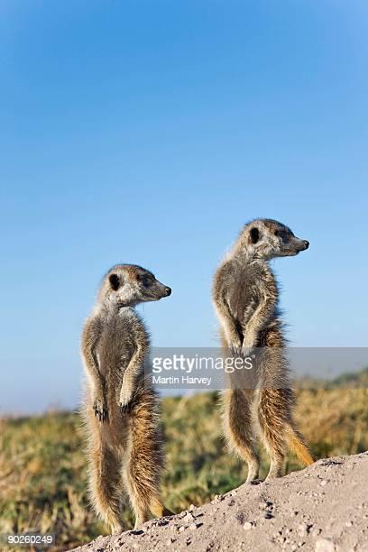 Meerkats looking away, Botswana
