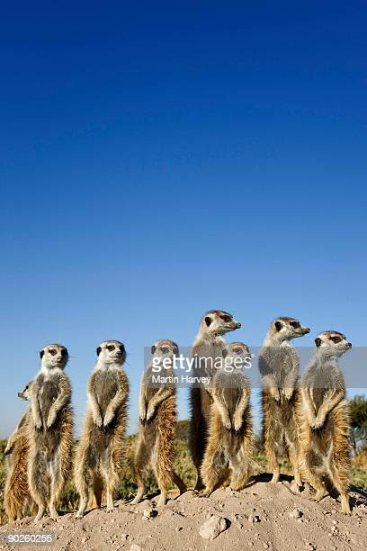 Meerkats looking away, Botswana